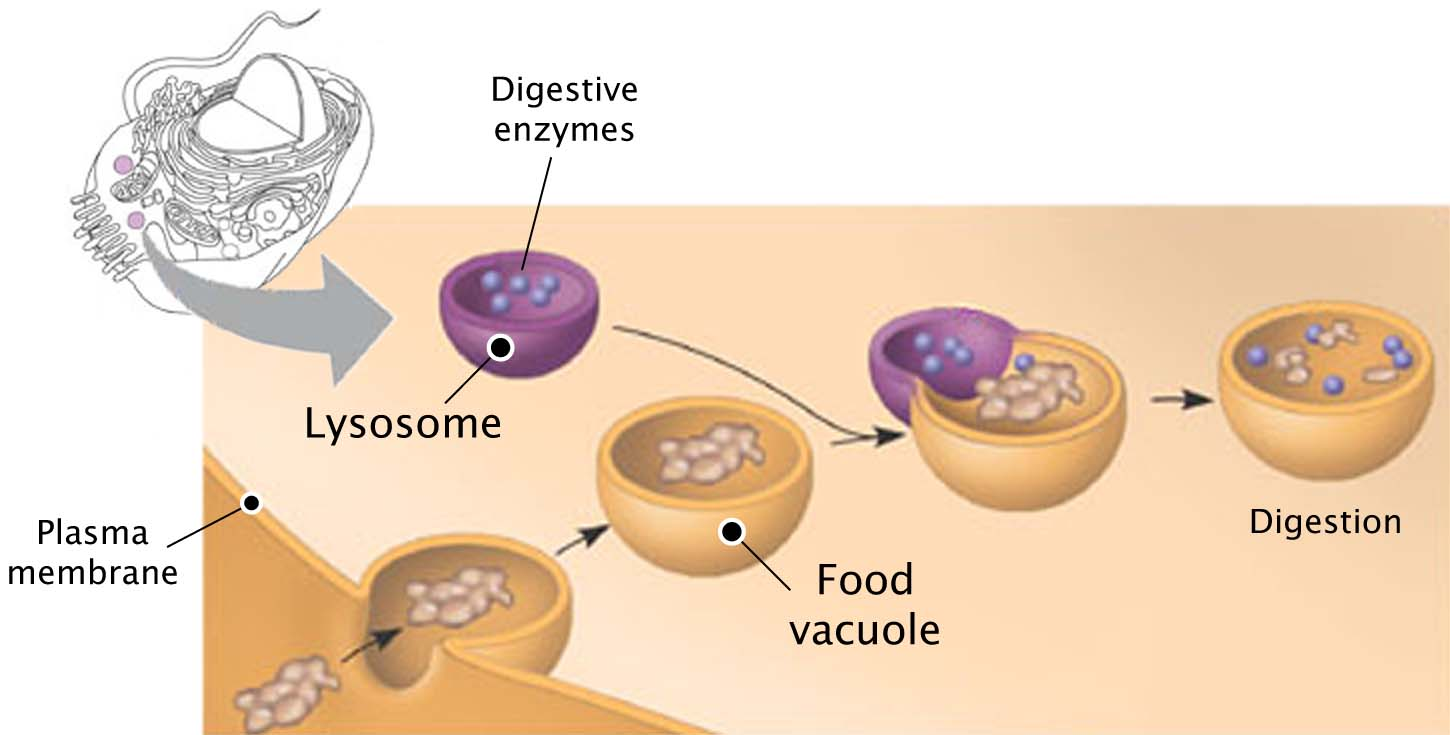 Image Gallery lysosome animal cell function